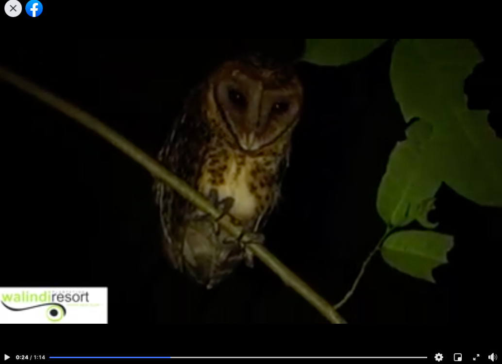 Golden Masked Owl in West New Britain Province