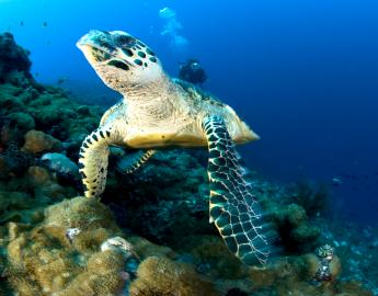PNG Diving Adventures - Turtle